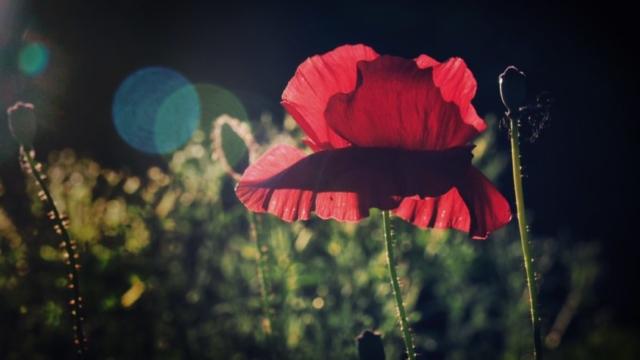Klatschmohnblüte im Abendlicht